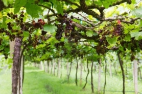 10455827_red_grape_vine_in_the_yard.1